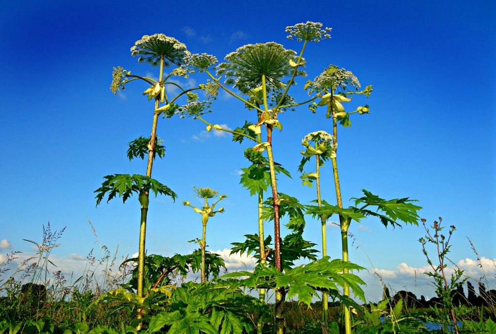 https://www.decodedscience.org/chemistry-giant-hogweed-macabre-cloud-silver-lining/61666
